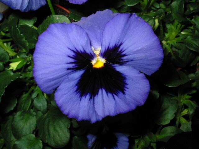 stiefm tterchen viola tricolor das wilde stiefm tterchen bzw viola x wittrockiana. Black Bedroom Furniture Sets. Home Design Ideas